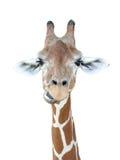 Pista de la jirafa Imagenes de archivo