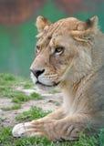 Pista de la leona Fotografía de archivo