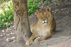 Pista de la leona Imágenes de archivo libres de regalías