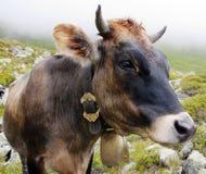 Pista de la vaca Imagen de archivo