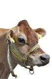 Pista de la vaca Fotos de archivo libres de regalías