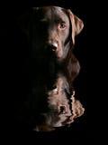 Pista de Labrador hermoso del chocolate reflejada Fotos de archivo libres de regalías