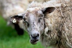 Pista de las ovejas Fotos de archivo libres de regalías