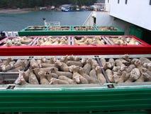 Pista de las ovejas Imagen de archivo libre de regalías