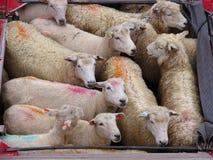 Pista de las ovejas Imagenes de archivo