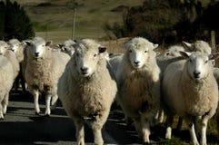 Pista de las ovejas encendido Fotos de archivo libres de regalías