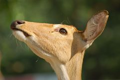 Pista de los ciervos Imagenes de archivo