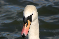 Pista de los cisnes Fotografía de archivo libre de regalías