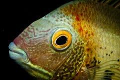 Pista de los pescados de Cichlid fotografía de archivo libre de regalías