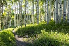 Pista de senderismo hermosa de la montaña a través de Aspen Trees de Vail Colorado Imagen de archivo