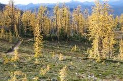 Pista de senderismo por los alerces alpinos Imágenes de archivo libres de regalías