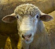 Pista de Sheeps Foto de archivo
