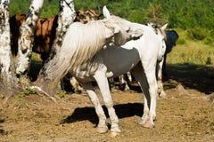 Pista de torneado del caballo blanco Imágenes de archivo libres de regalías