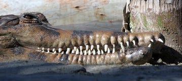 Pista de un cocodrilo o de un cocodrilo que descubre sus dientes blancos largos Imágenes de archivo libres de regalías
