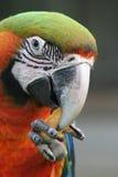 Pista de un loro del macaw Imagenes de archivo