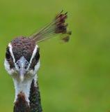 Pista de un pavo real Imagen de archivo libre de regalías