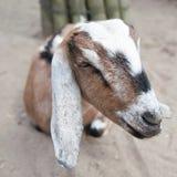 Pista de una cabra Fotografía de archivo