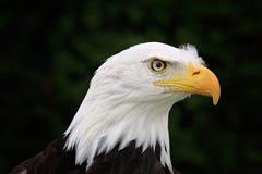 Pista del águila Imagen de archivo