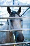 Pista del caballo blanco Fotografía de archivo