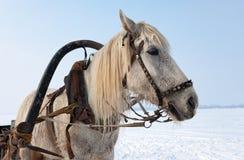 Pista del caballo blanco con el harness Imagenes de archivo