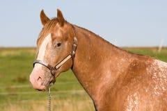 Pista del caballo hermoso del Appaloosa Imágenes de archivo libres de regalías