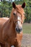 Pista del caballo marrón Fotografía de archivo libre de regalías