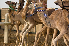 Pista del cammello di Marmoum di Al, Dubai Immagini Stock