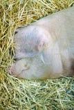 pista del cerdo Imágenes de archivo libres de regalías