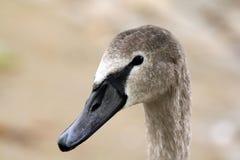 Pista del cisne joven Foto de archivo libre de regalías