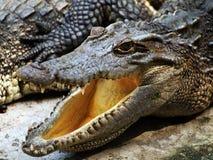 Pista del cocodrilo Fotografía de archivo libre de regalías