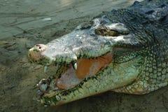 Pista del cocodrilo Fotos de archivo