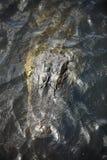 Pista del cocodrilo Fotografía de archivo