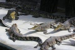 Pista del cocodrilo con la boca Foto de archivo libre de regalías