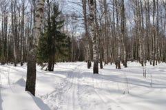 Pista del esquí en bosque del abedul del invierno Imagenes de archivo