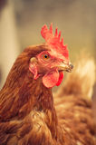 Pista del gallo Fotos de archivo