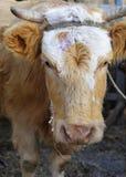 Pista del ganado Fotografía de archivo libre de regalías