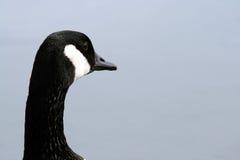 Pista del ganso de Canadá Imagen de archivo