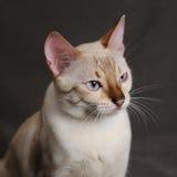 Pista del gato de Bengala Fotos de archivo libres de regalías