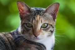 Pista del gato siamés Imagen de archivo libre de regalías