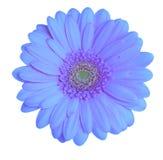 Pista del Gerbera Foto de archivo libre de regalías