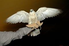 Pista del halcón Foto de archivo libre de regalías