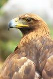 Pista del halcón Fotografía de archivo libre de regalías