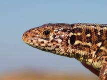 Pista del lagarto de arena Foto de archivo libre de regalías