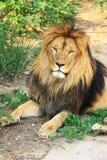Pista del león Imagenes de archivo