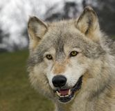 Pista del lobo de madera (lupus de Canis) Imágenes de archivo libres de regalías