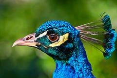 Pista del pavo real Fotos de archivo
