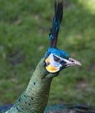 Pista del pavo real y retrato del cuello Imágenes de archivo libres de regalías