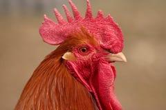 Pista del pollo fotografía de archivo