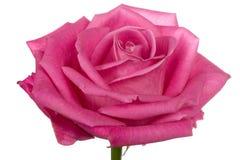 Pista del primer de la sola rosa del color de rosa aislada Foto de archivo libre de regalías