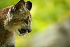Pista del puma Fotografía de archivo libre de regalías
